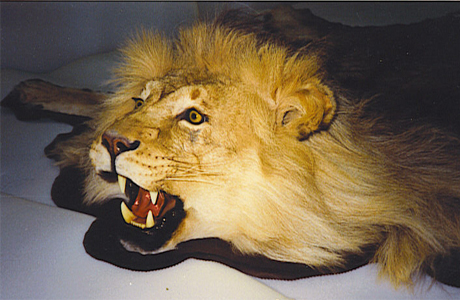 Свадебные традиции - жертвенный лев