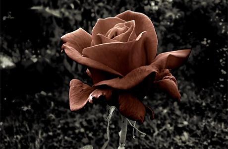 Коричневые розы - эксклюзив