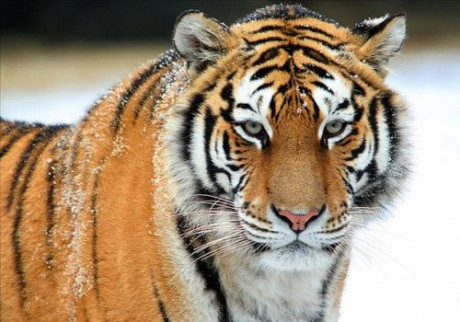 Год тигра гороскоп