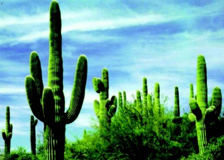 Плантация кактусов