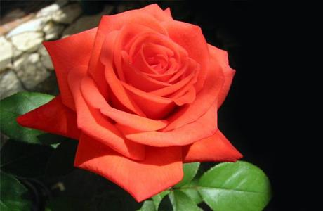 Розы в свадебном оформлении