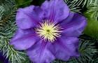 Цветы вплетенные в хвою