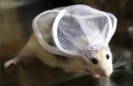 Свадебный гороскоп 2012: Крыса
